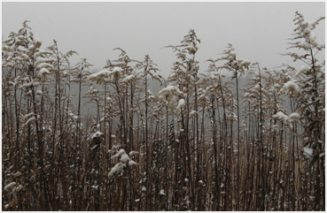 Snow falling on browned weeds.