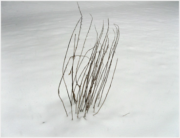 Dry brown stems emerge from an expanse of snow.