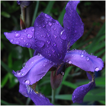Flower in the rain.