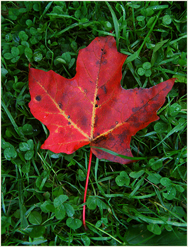 Maple leaf.